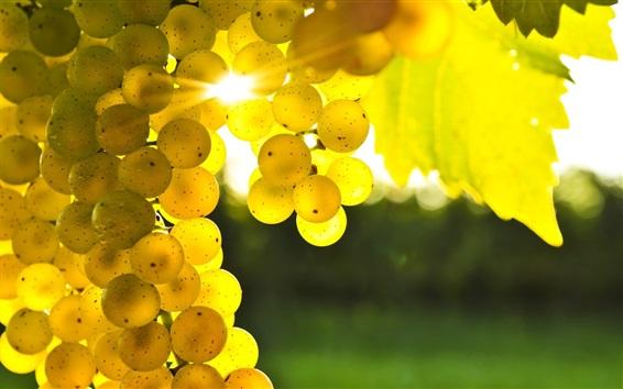Wallpaper Green grapes under sunlight, glare