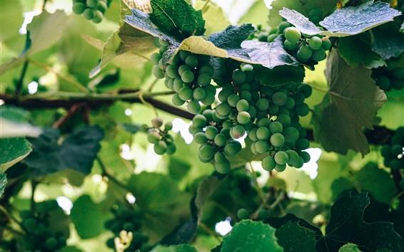 Wallpaper Green grapes, unripe