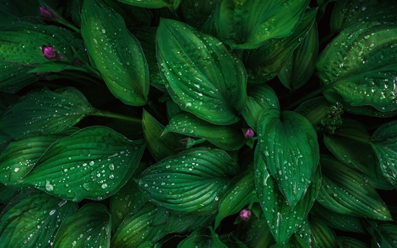 Wallpaper Green leaves, plants, water drops