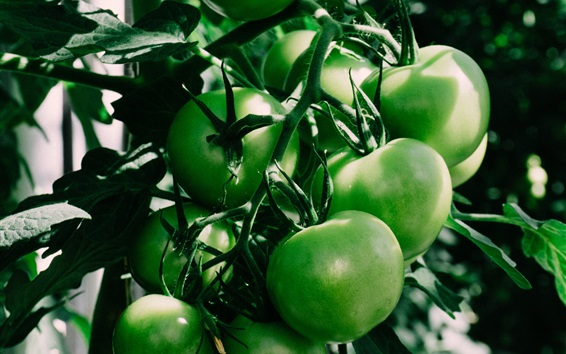 Wallpaper Green tomatoes, unripe