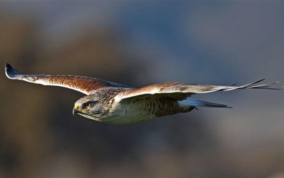 Papéis de Parede Falcão, asas, predador, vôo, pássaro