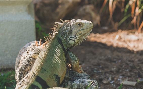 Обои Вид сзади игуаны, рептилия