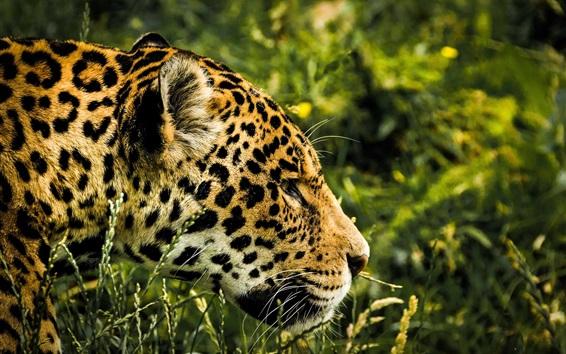 Обои Ягуар, хищник, пятно, голова, трава