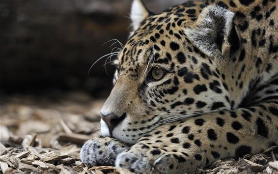 Fondos de pantalla Jaguar, descanso, depredador, cabeza