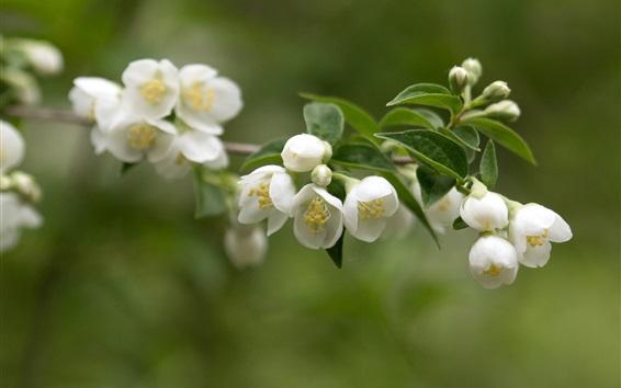 Papéis de Parede Jasmim, flores brancas, galhos, folhas