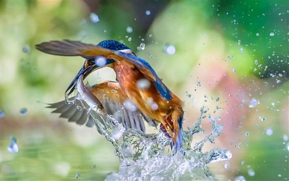 Papéis de Parede Martinho pescador pegando um peixe fora da água, respingo