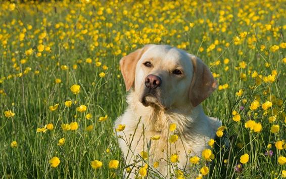 Papéis de Parede Labrador Retriever, cão, flores amarelas