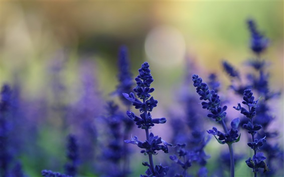 Wallpaper Lavender, blue flowers, blurry