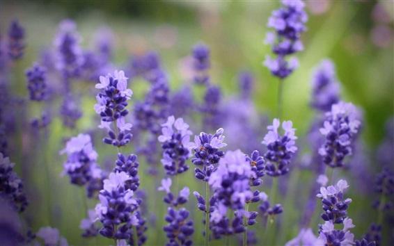 배경 화면 라벤더 블루 꽃, bokeh