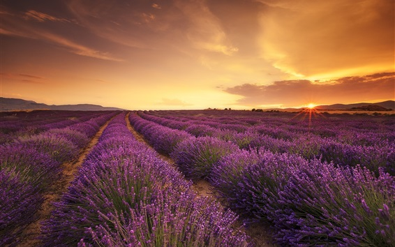 Wallpaper Lavender field, sunset, sun rays