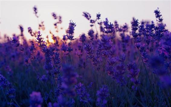 배경 화면 라벤더 꽃, 황혼, 흐릿한