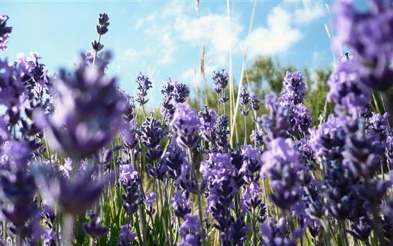Papéis de Parede Campo de flores de lavanda, luz do sol