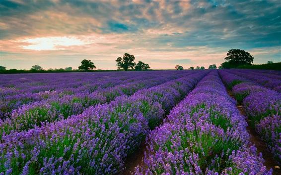 Обои Лаванда цветы поле, деревья, облака, закат