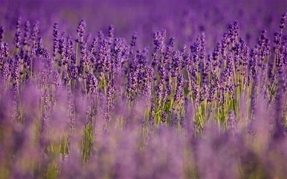 배경 화면 라벤더, 자주색 꽃, 필드, 흐릿한