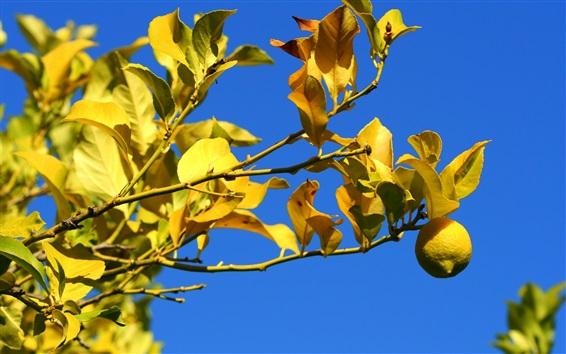 Wallpaper Lemon, tree, twigs, yellow, leaves