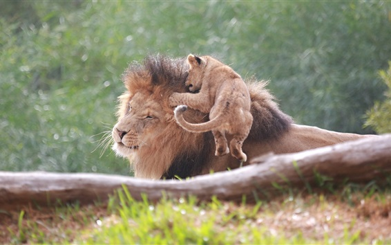 Papéis de Parede Leão e bebê