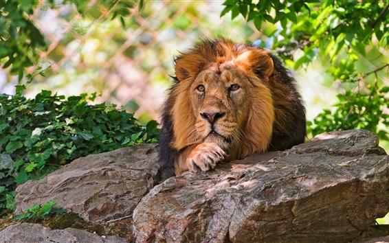 Wallpaper Lion resting, rocks, leaves