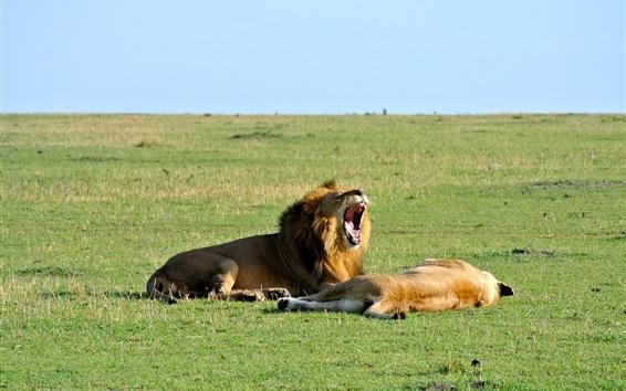 Wallpaper Lion yawn, rest, grass