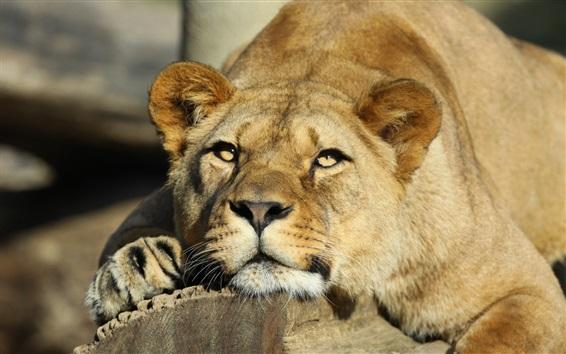 Wallpaper Lioness, predator, big cat, animals close-up