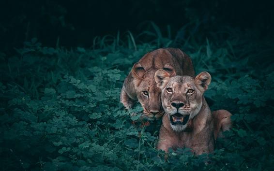 Wallpaper Lionesses, predators, bushes
