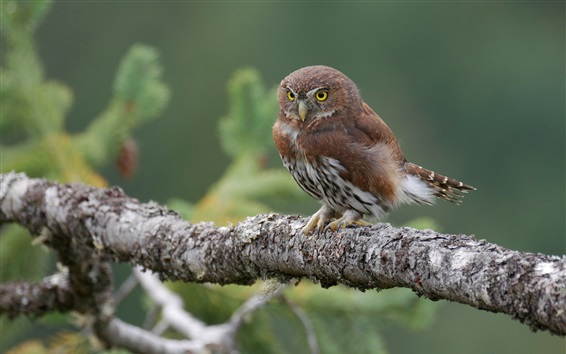 Wallpaper Little owl, yellow eyes, branches