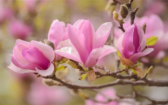 Wallpaper Magnolia macro photography, pink petals, spring