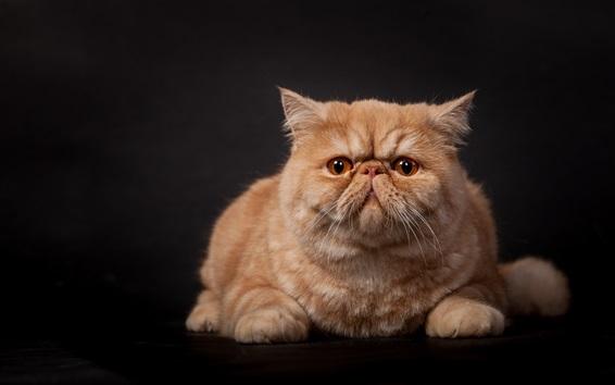 Обои Оранжевый вид кошки спереди, черный фон
