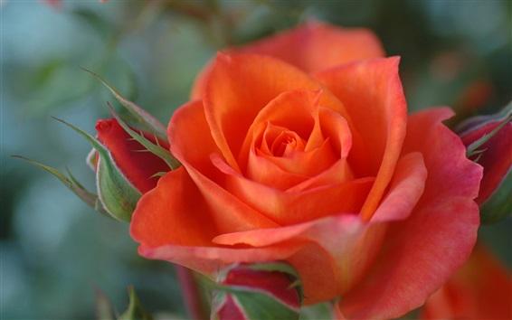 Wallpaper Orange colour rose close-up