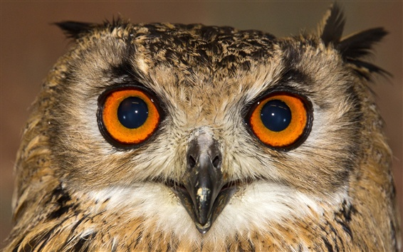 Papéis de Parede Coruja vista frontal, rosto, olhos