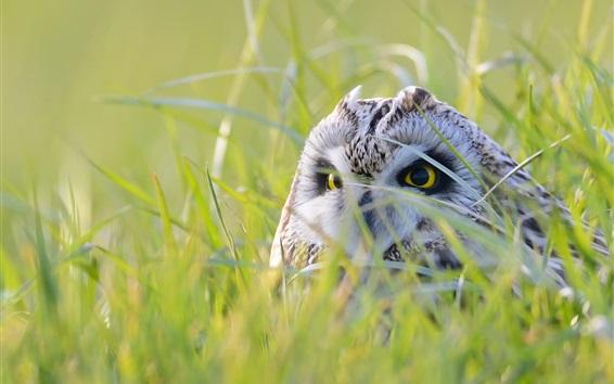 Fond d'écran Le hibou caché dans l'herbe, regarde