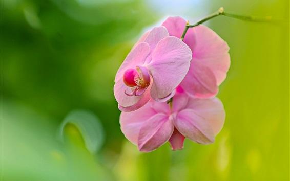 Обои Розовые цветы Phalaenopsis, орхидея, боке