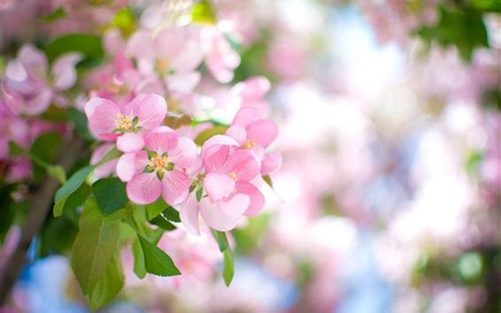 Wallpaper Pink apple flowers bloom, spring