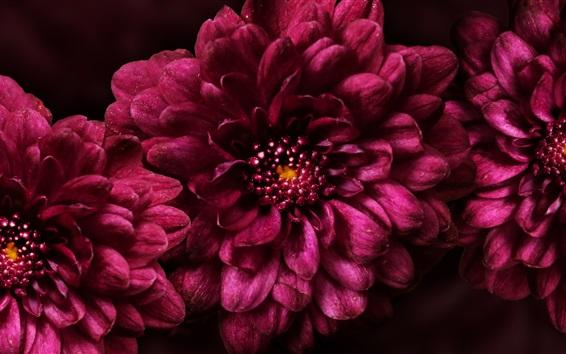 배경 화면 핑크 꽃 매크로 촬영, 꽃잎