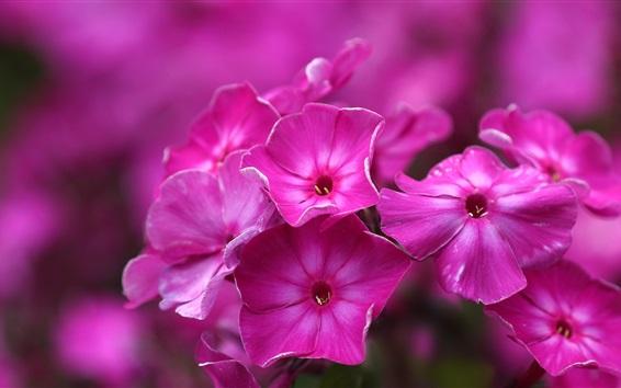 Wallpaper Pink phlox flowers, macro photography