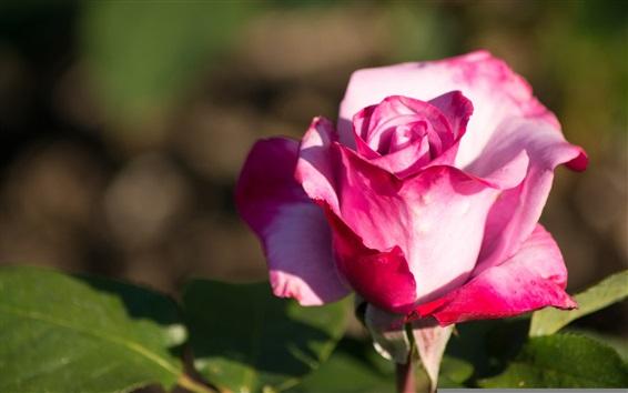 Wallpaper Pink rose close-up, sunshine