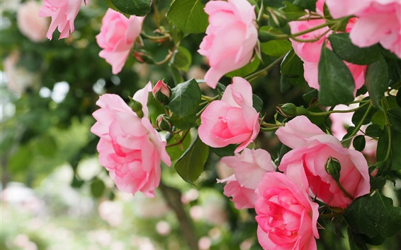 Wallpaper Pink roses blooming, spring
