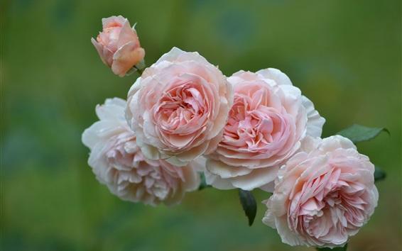 Wallpaper Pink roses, flowers, bokeh