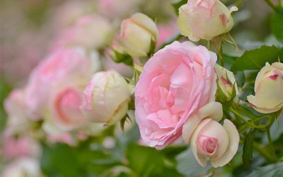 Fondos de pantalla Rosas rosas, flores, jardín
