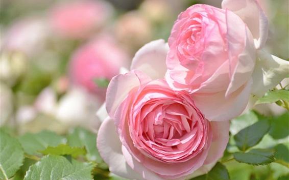 Fond d'écran Roses roses, pétales, fleurs de jardin