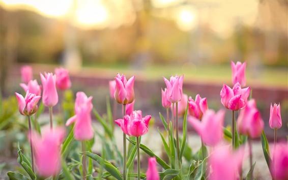 Papéis de Parede Tulipas cor-de-rosa que florescem, luz do sol