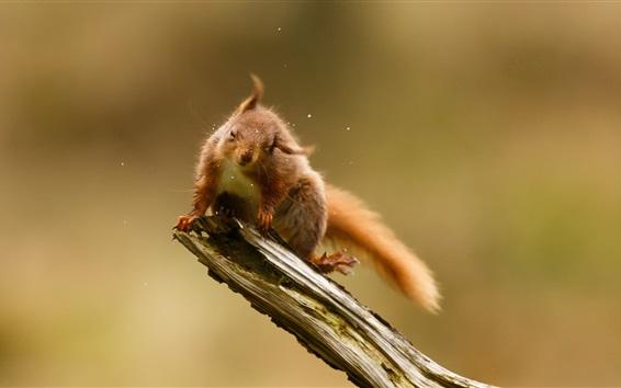 Wallpaper Playful squirrel, water drops