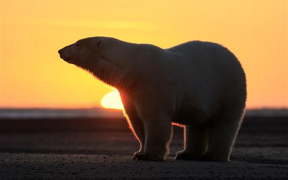 Wallpaper Polar bear, sunset, silhouette