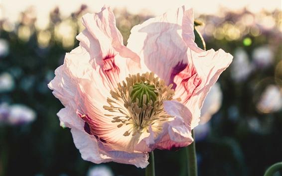 Wallpaper Poppy flower, backlight