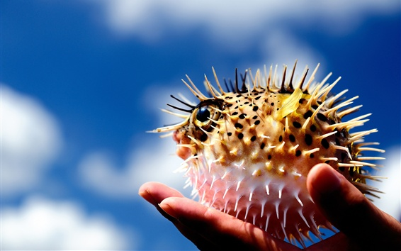 Wallpaper Puffer fish, ball, spikes, hand