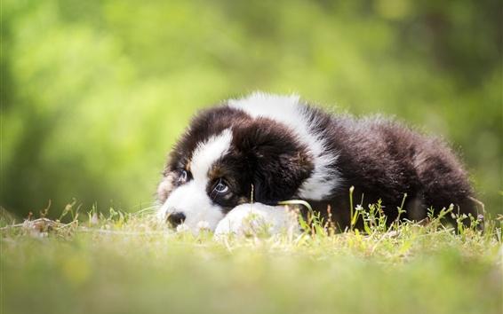 Обои Щенок отдыхает, трава, размыта