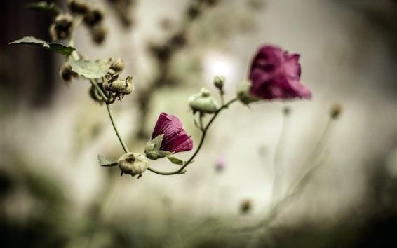 Fond d'écran Fleurs pourpre, bokeh