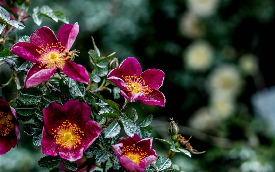 Wallpaper Purple flowers, moisture, leaves