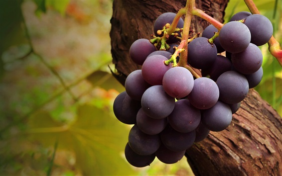 Wallpaper Purple ripe grapes