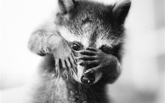 Fond d'écran Raccoon, photo monochrome
