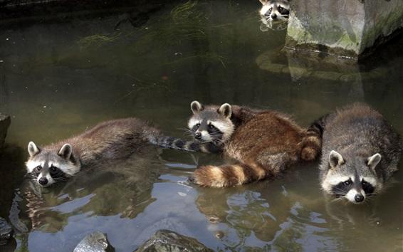 Papéis de Parede Guaxinins que se banham na lagoa